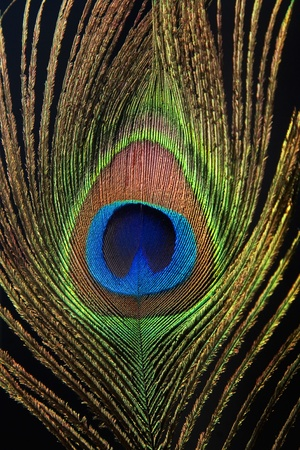 Detail of peacock feather eye on black background photo