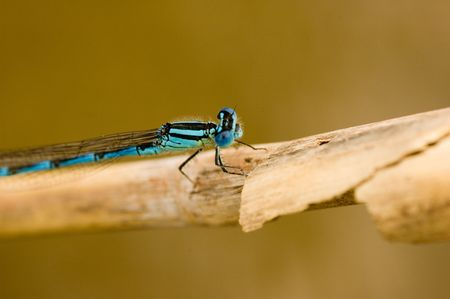 extreme close-up of blue dragon fly photo