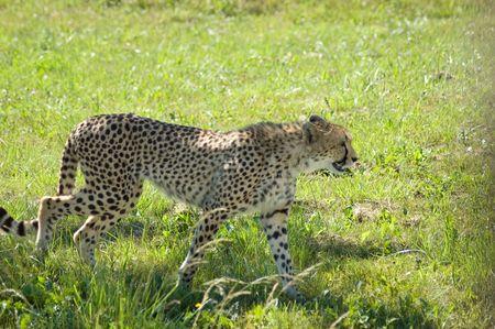 walking leopard photo
