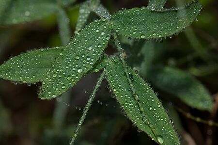 Leaves covered with dew drops. Integral Natural Reserve of Mencafete. Frontera. El Hierro. Canary Islands. Spain.