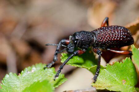 Beetle Aegorhinus vitulus in the Conguillio National Park. Stock Photo