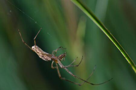 Spider Tetragnatha extensa in the Captren lagoon.