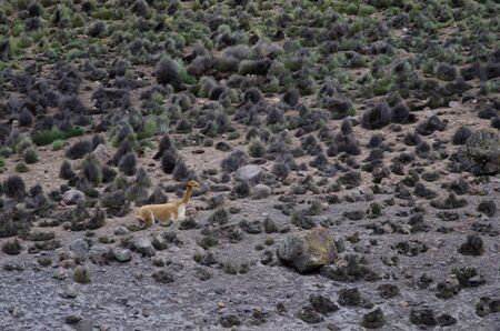 Vicuna Vicugna vicugna resting in Lauca National Park. Arica y Parinacota Region. Chile.
