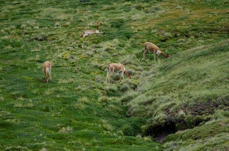 Vicunas Vicugna vicugna grazing in a meadow. Lauca National Park. Arica y Parinacota Region. Chile.