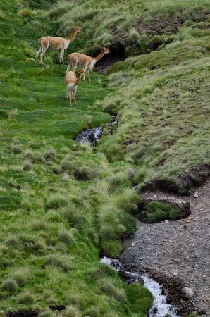 Vicunas Vicugna vicugna in Lauca National Park. Arica y Parinacota Region. Chile. 写真素材
