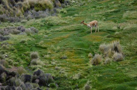 Vicuna Vicugna vicugna in Lauca National Park. Arica y Parinacota Region. Chile.