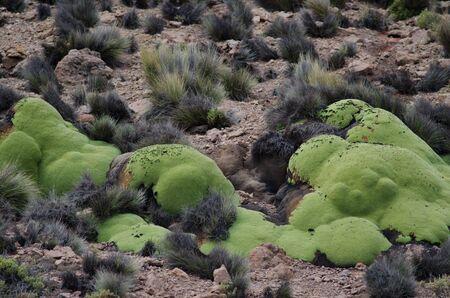Yareta Azorella compacta in Lauca National Park. Arica y Parinacota Region. Chile.