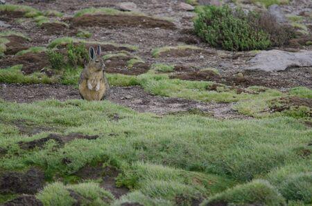 Southern viscacha Lagidium viscacia in a meadow. Las Cuevas. Lauca National Park. Arica y Parinacota Region. Chile.