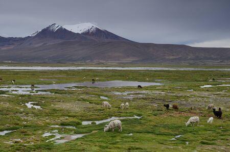 Alpacas Vicugna pacos grazing in a meadow. Cotacotani Lakes. Lauca National Park. Arica y Parinacota Region. Chile.