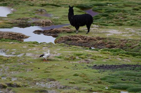 Andean goose Chloephaga melanoptera and alpaca Vicugna pacos in the background. Cotacotani Lakes. Lauca National Park. Arica y Parinacota Region. Chile. 写真素材