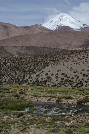 Vicunas Vicugna vicugna next to the Lauca River. Lauca National Park. Arica y Parinacota Region. Chile.
