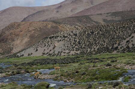 Vicunas Vicugna vicugna crossing the Lauca River. Lauca National Park. Arica y Parinacota Region. Chile.