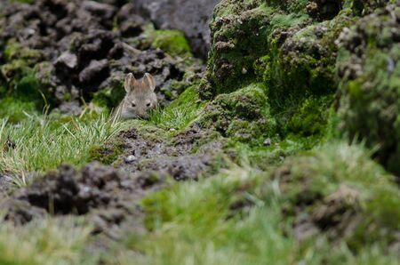 Bolivian big-eared mouse Auliscomys boliviensis. Las Cuevas. Lauca National Park. Arica y Parinacota Region. Chile.