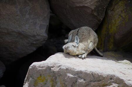 Southern viscacha Lagidium viscacia stretching. Las Cuevas. Lauca National Park. Arica y Parinacota Region. Chile. 写真素材