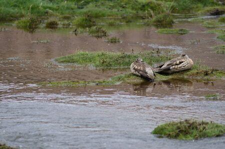Andean crested ducks Lophonetta specularioides alticola resting. Lauca National Park. Arica y Parinacota Region. Chile.