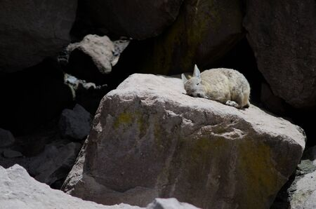 Southern viscacha Lagidium viscacia sunbathing on a rock. Las Cuevas. Lauca National Park. Arica y Parinacota Region. Chile.