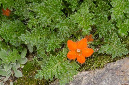 Plant Caiophora rosulata in flower. Lauca National Park. Arica y Parinacota Region. Chile. 写真素材