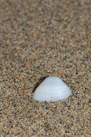 Shell of bivalve wash up on shore. Cofete. Jandia Natural Park. Fuerteventura. Canary Islands. Spain. Stock Photo