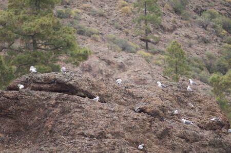 Yellow-legged gulls Larus michaellis in the Integral Natural Reserve of Inagua. Tejeda. Gran Canaria. Canary Islands. Spain.