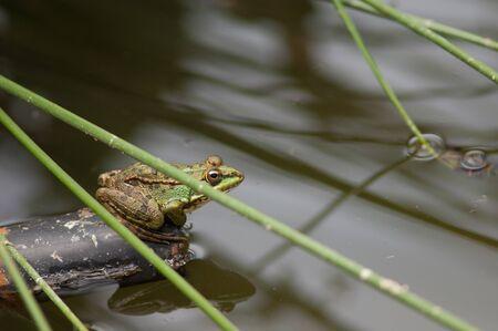 Perezs frog Pelophylax perezi in a lagoon.