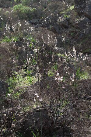 Landscape with summer asphodel Asphodelus aestivus in bloom.