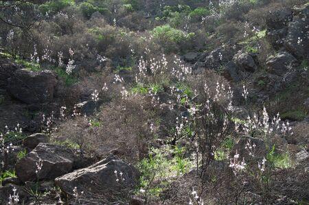 Landscape with summer asphodel Asphodelus aestivus in bloom. Foto de archivo
