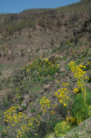 Landscape with plants of Ferula linkii in flower.