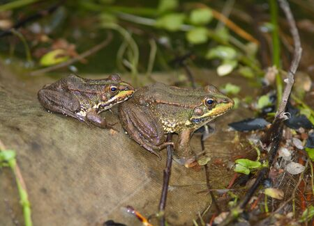 Perezs frogs Pelophylax perezi in a pond.