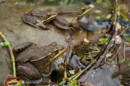 Perezs frogs Pelophylax perezi in a pond. Foto de archivo