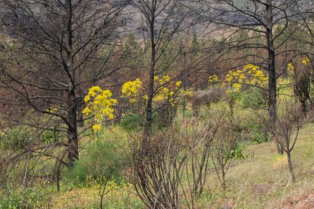 Burned Aleppo pines and plants of Ferula linkii in bloom.