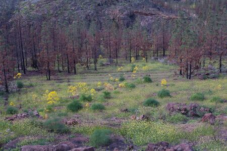 Burned forest of Canary Island pine and plants of Ferula linkii in bloom.