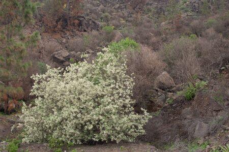 Tree lucerne Chamaecytisus proliferus meridionalis in flower.