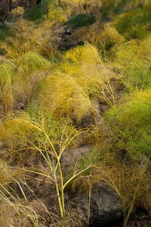 Plants of Ferula linkii in The Nublo Rural Park.