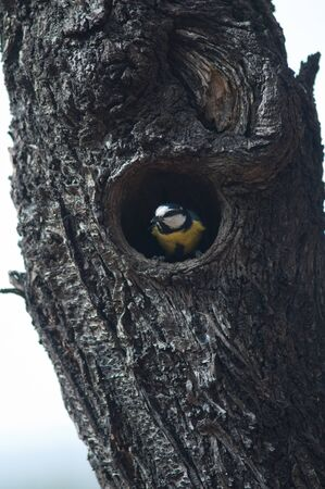 African blue tit on the entrance of its nest in a burned tree.