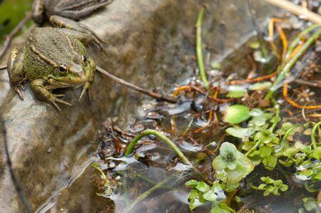 Perez's frog Pelophylax perezi in a pond. La Lajilla. The Nublo Rural Park. Aldea de San Nicolas de Tolentino. Gran Canaria. Canary Islands. Spain. Foto de archivo