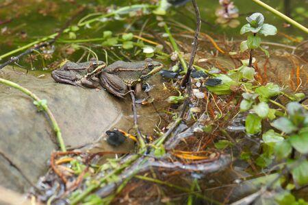 Perez's frogs Pelophylax perezi in a pond. La Lajilla. The Nublo Rural Park. Aldea de San Nicolas de Tolentino. Gran Canaria. Canary Islands. Spain.