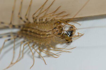 House centipede Scutigera coleoptrata feeding of an earwig.
