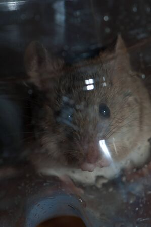 House mouse trapped inside a plastic bottle. Cruz de Pajonales. Tejeda. Gran Canaria. Canary Islands. Spain.