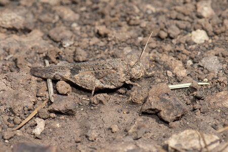 Grasshopper Oedipoda sp. Alsandara Mountain. Integral Natural Reserve of Inagua. Tejeda. Gran Canaria. Canary Islands. Spain.