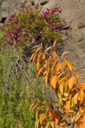 Branches and leaves of a tree. The Nublo Rural Park. Mogan. Gran Canaria. Canary Islands. Spain.