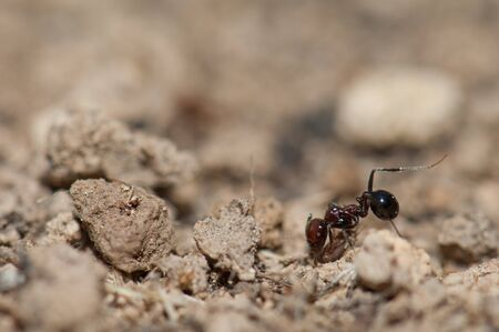 Ant Messor minor maurus, Integral Natural Reserve of Inagua. Gran Canaria. Canary Islands. Spain.