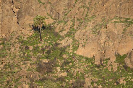 Canary Island date palm Phoenix canariensis. The Soria dam. Gran Canaria. Canary Islands. Spain.