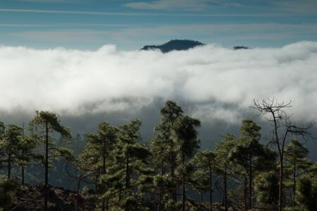 Forest of Canary Island pine Pinus canariensis, sea of clouds and mountain. Integral Natural Reserve of Inagua and Pilancones Natural Park in the background. Gran Canaria. Canary Islands. Spain.