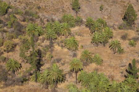 Palm grove of Canary Island date palm Phoenix canariensis. The Nublo Rural Park. San Nicolas de Tolentino. Gran Canaria. Canary Islands. Spain. Foto de archivo