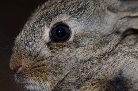 European rabbit Oryctolagus cuniculus, Integral Natural Reserve of Inagua. Tejeda. Gran Canaria. Canary Islands. Spain.