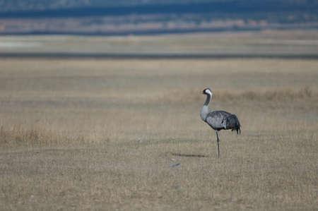 Common crane Grus grus in a meadow.