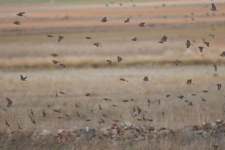 Flock of birds in flight in the Gallocanta Lagoon.