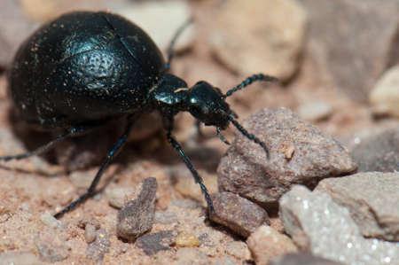 Oil beetle Meloe sp. Gallocanta Lagoon Natural Reserve.