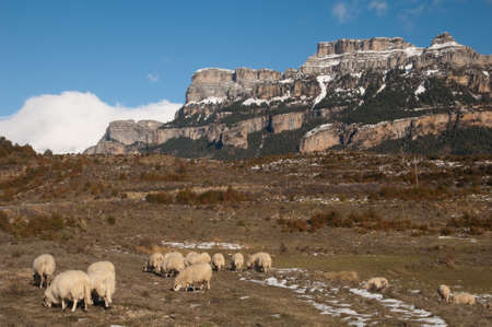 Sheep Ovis aries grazing in Vio and the Sestrales in the background.