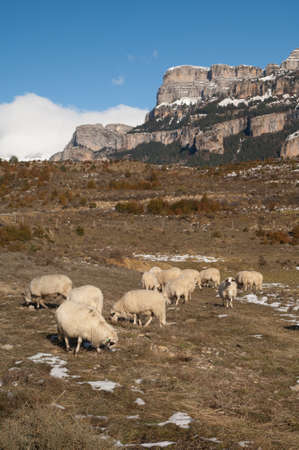 Sheep Ovis aries grazing in Vio and the Sestrales in the background. Foto de archivo